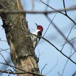 One of many woodpeckers