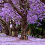 Grafton Jacaranda trees