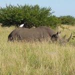 Phinda black rhino