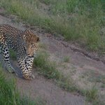 leopard not to pad