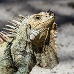 The Iguanas are everywhere (except in your room) and will mooch a convenient meal at your table