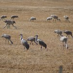 Sandhill Cranes 10 feet off of the roadway in Monte Vista