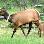 Elk family nearby