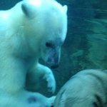 the amazing polar bear!