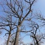 Amazing old oaks