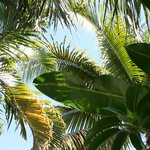 A Canopy of Palm Beach Palms