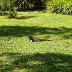 Una iguana en el jardín