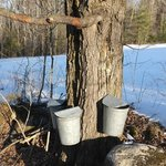 Sugar Maple & Sap Buckets @ Grand View