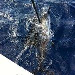 tagging sailfish