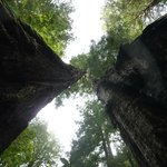 Cathedral grove tree