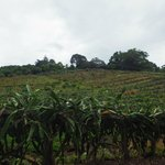 more plantations