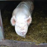 One of the friendly pigs