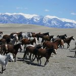 Spring Roundup of Horses off of Winter Pasture