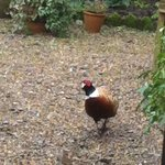Pheasant visiting our bird table