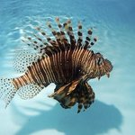 Lionfish in the natural !