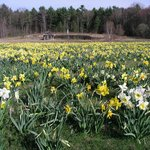 The Field of Daffodils