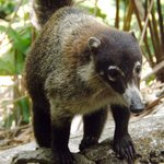 Cutest Coati