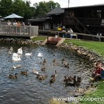 Feed the ducks and geese at the Fly Creek Cider Mill