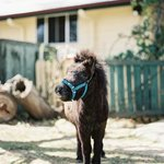 Abbot Our Miniature Pony