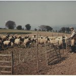 Great Grandfather with the sheep - early 1900s