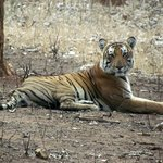 Tiger we saw in the Nagarhole National Park