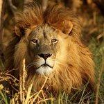 African Male Lion Sunset johannebsurg tours