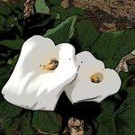 Turk lily flowers