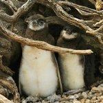 Pingüinos en Punta Tombo