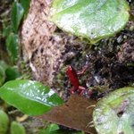 Strawberry poison dart frog- Caribbeans choc. tour