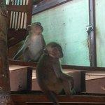 scimmiette sul balcone