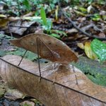 Leaf Bug- Jungle tour with Aquiles