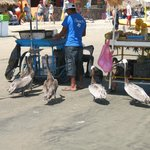 Pelicans all over waiting for a handout