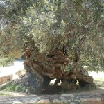 Ancient Olive Tree of Vouves