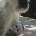 Monkeys surrounding hotel grounds