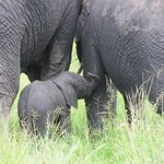 Baby elephant in a family group in Tarangire NP