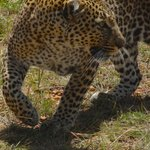 We spotted this beautiful leopard after five minutes of a game drive