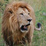The king of the savannah...