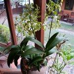 délicate orchidée de notre balcon