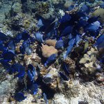 School of Blue Tangs