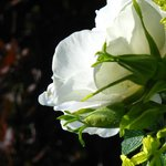 Our white shrub roses are fragrant as well as beautiful