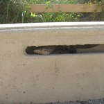 Iguana on boardwalk