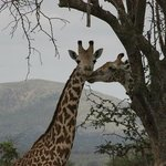 Giraffe allo Tsavo