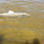 A dolphin feeding under the dock