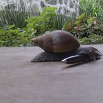 They have big snails in Africa (not on the menu)