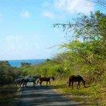 Roaming Horses inside Vieques Wildlife Refuge