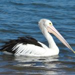 Friendly pelican to greet you at Rhyll