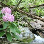 Native Rhododendrons bloom the West Fork of Little River in the Spring in May