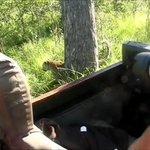 Leopard passing car