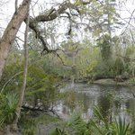 The Ashley River overhung by trees and Spanish moss