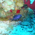 Blue fish you can see while diving or snorkling